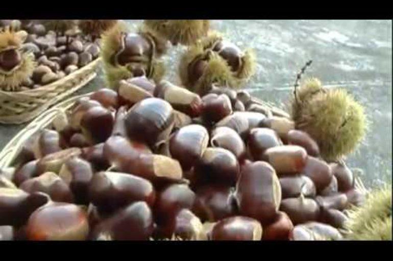 Castagne, produzione in aumento nello spezzino