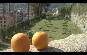 Ritornano le arance agli orti di San Giorgio