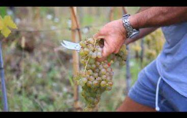 Nasce il Consorzio tutela vini liguri